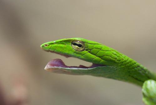 無料写真素材, 動物 , 爬虫類, 蛇・ヘビ, 笑顔・スマイル, オオアオムチヘビ