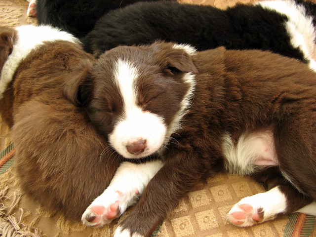 Cute Adorable Border Collie Puppies 5 Weeks