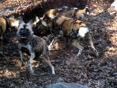 dog(0.0), pet(0.0), street dog(0.0), australian cattle dog(0.0), animal(1.0), mammal(1.0), lycaon pictus(1.0),