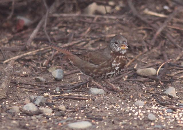 Feb 20 2011 Fox Sparrow