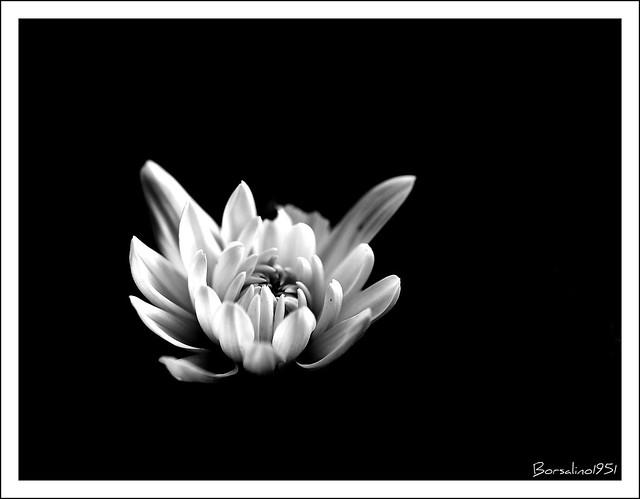 Crisantemo DSC_7510copia01