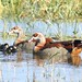 Egyptian Geese (Julia Casson)
