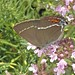 Bue-spot Hairstreak (Tony Daniels)