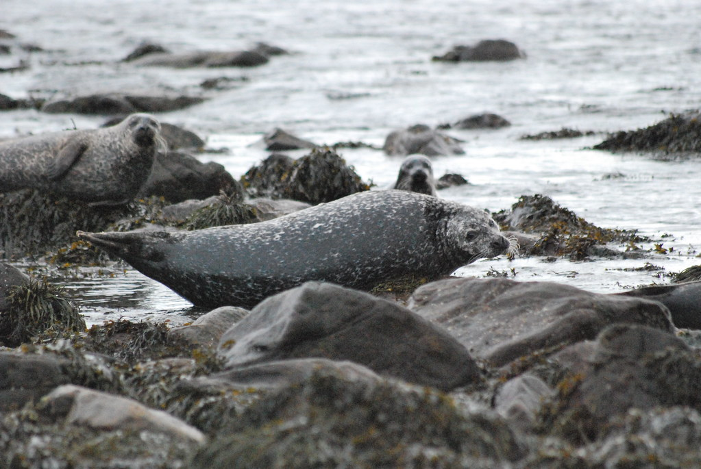 Grey seal, near Dunnet Head, Scotland
