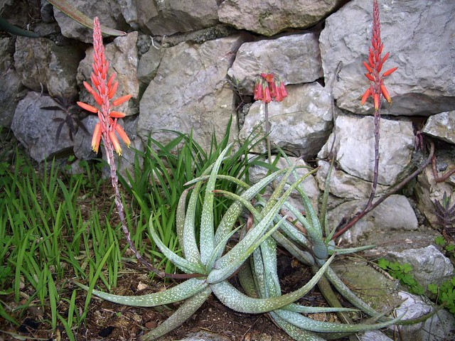 Aloe pictifolia 01