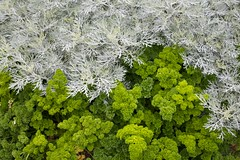 Parsley in a flower bed (1)