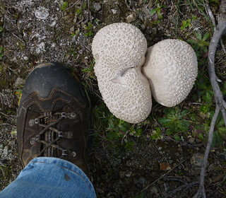 monster puffball