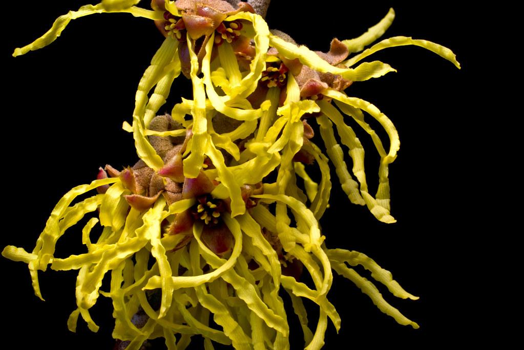 Hamamelis × intermedia 'Arnold's Promise'