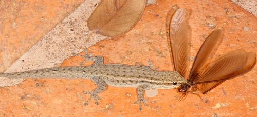 Gecko eating Ngumbi (flying termite)