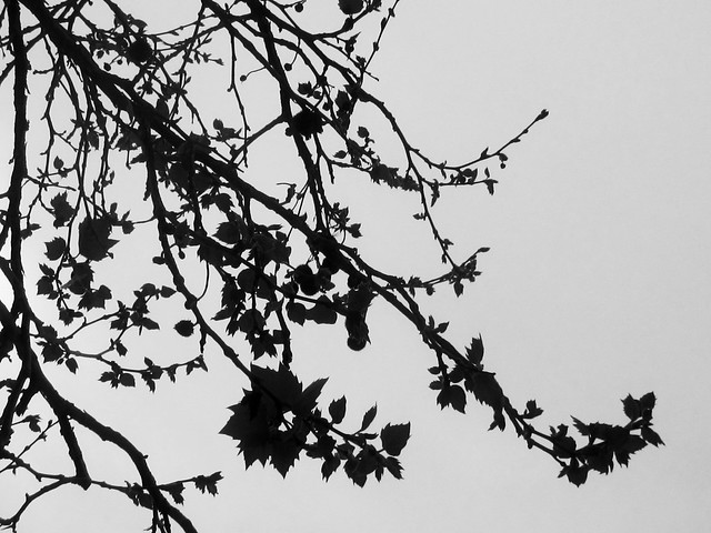 tree branches and leaves silhouette flickr photo sharing