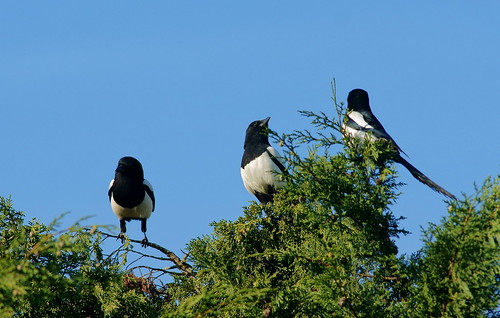 Seeing three magpies is a sign of good luck, by Peter Trimming