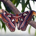 Mating Atlas Moths