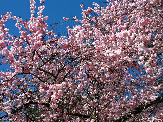 Vancouver cherry blossom festival vancouverscape - Romanian cherry tree varieties ...