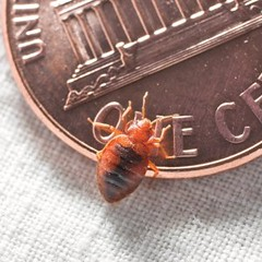 Five Things Everyone Should Know About…Bedbugs