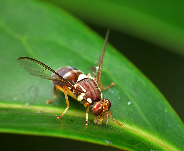 Queensland Fruit Fly -  Bactrocera tryoni