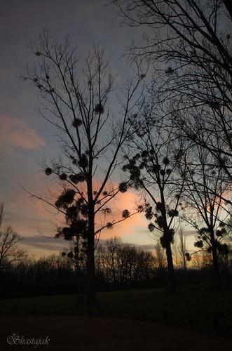 trees sunset sky sundown pentax silhouettes mistletoe k5 pentaxk5