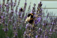 pollinator, animal, honey bee, flower, purple, english lavender, nature, lavender, invertebrate, lavender, macro photography, membrane-winged insect, wildflower, flora, fauna, spring, bee, bumblebee, wildlife,