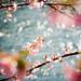 sakura by somaruha