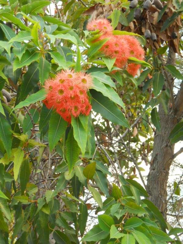 Eucalyptus ficifolia v 1