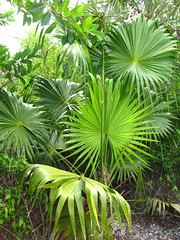 arecales(0.0), borassus flabellifer(0.0), flower(0.0), tree(0.0), tropics(1.0), leaf(1.0), plant(1.0), green(1.0), forest(1.0), saw palmetto(1.0), jungle(1.0), vegetation(1.0),
