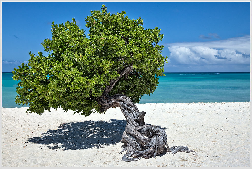 Fofoti Tree, Aruba