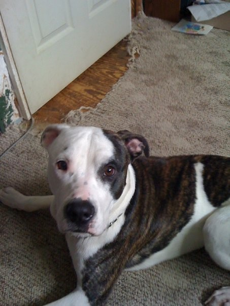 Memphis the american bulldog pit bull mix flickr photo sharing