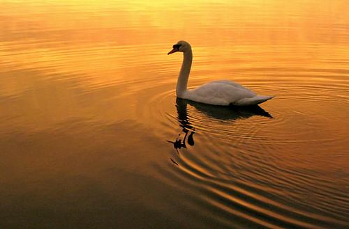 sunset reflection bird river spring swan massachusetts danvers colorphotoaward