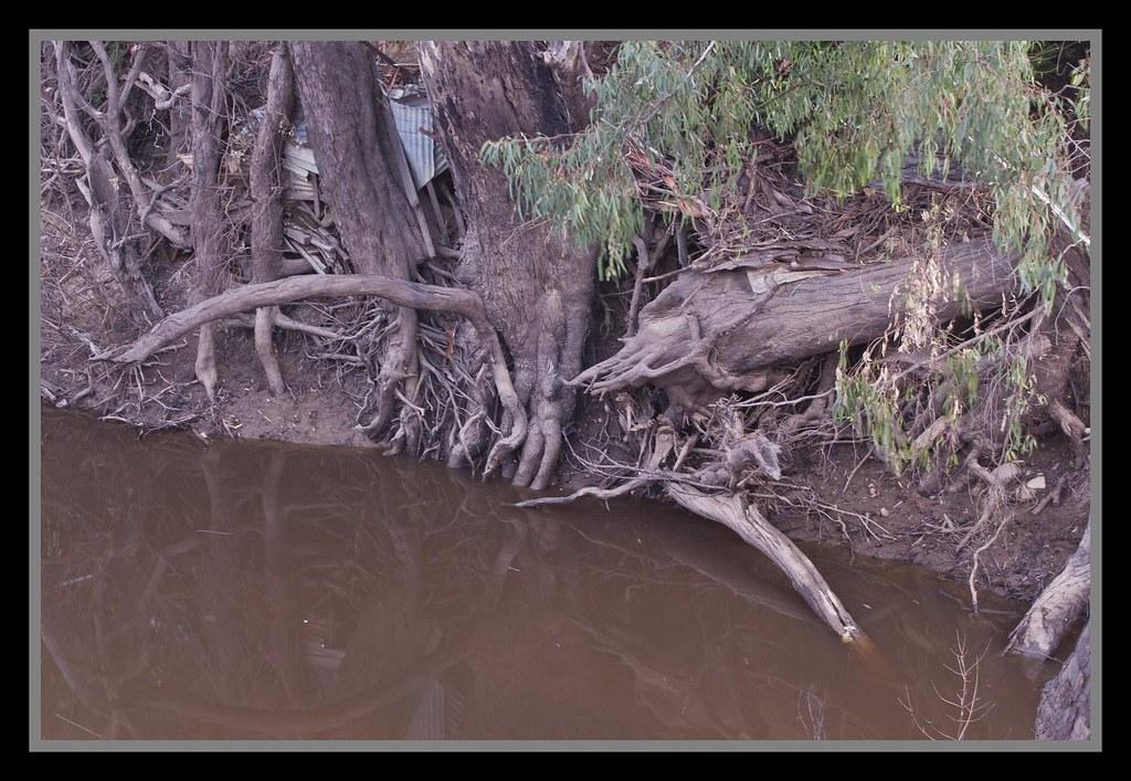 Murray Gum Roots at Echuca-1=