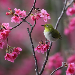 Japanese white-eye 小綠賞櫻
