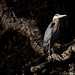 Great Blue Heron, breeding plumage