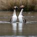 Great Crested Grebe, Podiceps cristatus, courtship display by Peter J Bailey - Saxon Studio