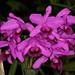 Cattleya bowringiana-1