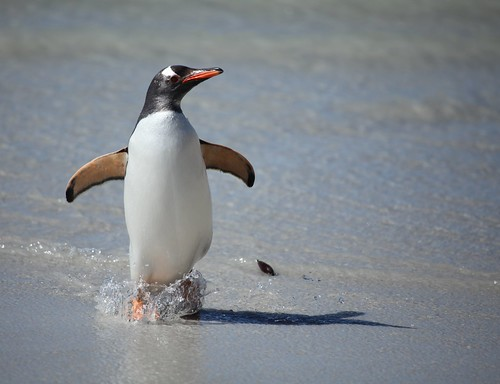 Gentoo Penguin splashing on the beach by Liam Q