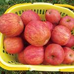 留目果樹園りんご