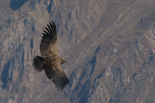 peru america south canyon condor colca andean