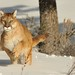 Mountain Lion in Snow by Ami 211