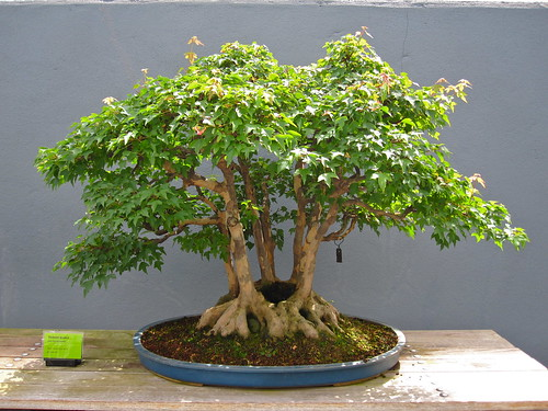 Trident maple Clump Style