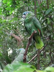 Blue-fronted Amazon Parrot (or maybe a Blue Crowned Conure?)