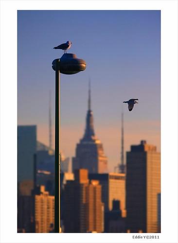 newyorkcity newyork sunrise dawn cityscape dusk seagull gull citybuilding citysunset