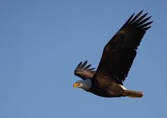 animal(1.0), bird of prey(1.0), eagle(1.0), wing(1.0), fauna(1.0), buzzard(1.0), bald eagle(1.0), accipitriformes(1.0), kite(1.0), beak(1.0), bird(1.0), flight(1.0),