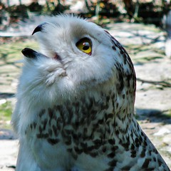 Close-up of snow owl, Close-up van sneeuwuil
