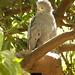 African Harrier Hawk (Julia Casson)