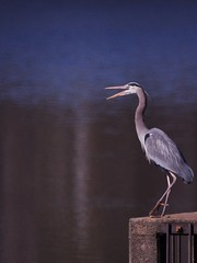 062/365: Thursday, March 3, 2011: Great Blue Heron (Ardea herodias)