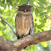 Brown Fish Owl (Julia Casson)