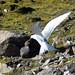 Arctic Tern (Thomas Mills)