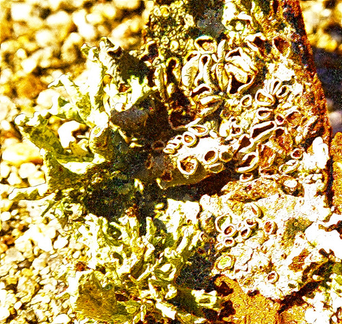 Lichen [PK72464] redfield