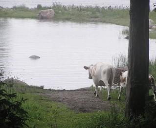 Miinan lehmät rantalomalla