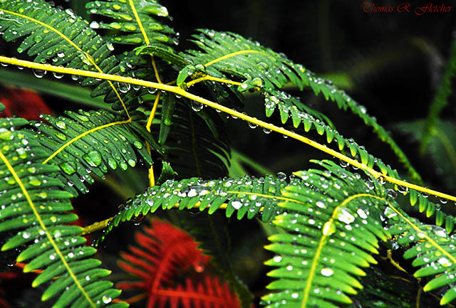 Ferns and Raindrops