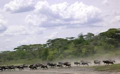 adventure(0.0), elephant(0.0), elephants and mammoths(0.0), grazing(0.0), cattle-like mammal(1.0), wildebeest(1.0), plain(1.0), herd(1.0), savanna(1.0), grassland(1.0), safari(1.0), wildlife(1.0),