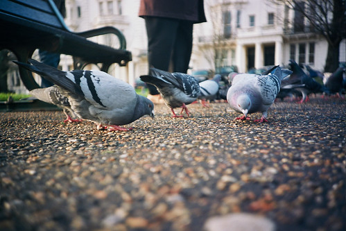 low down dirty pigeons